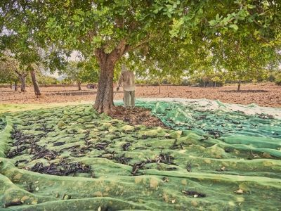 La algarroba – Carob