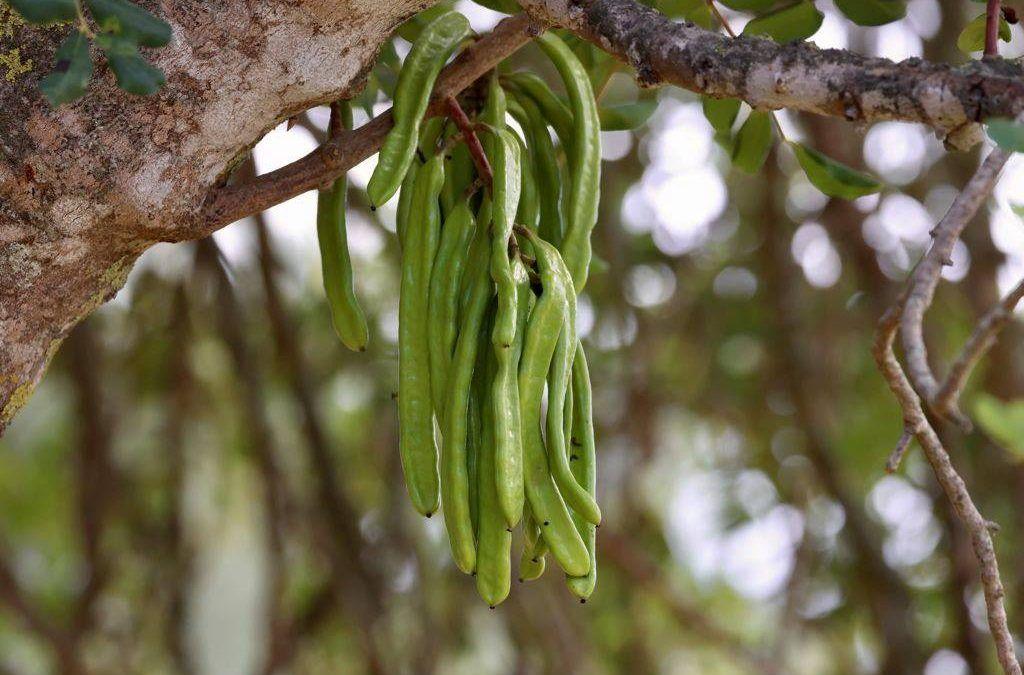 Algarrobas verdes